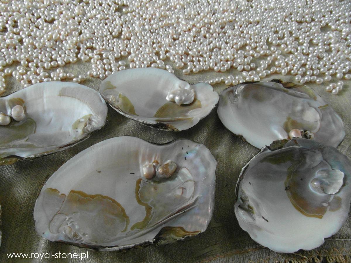 Perłopław małże perły Royal-Stone