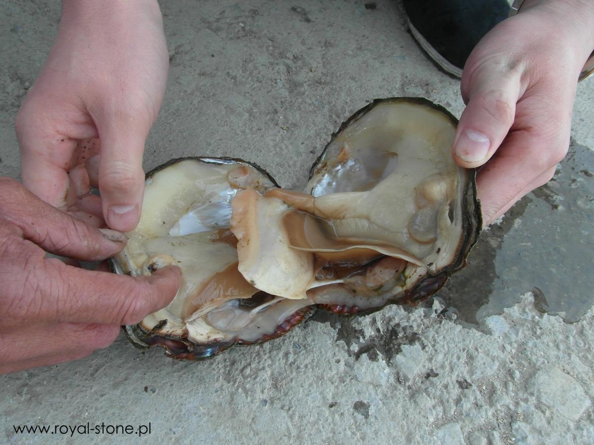 Perłopław małż perła Royal-Stone
