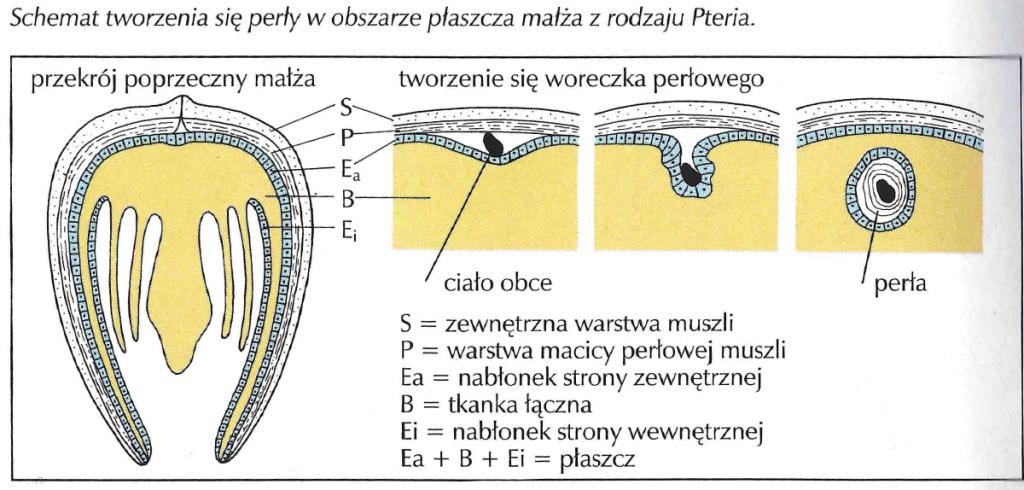 Schemat tworzenia się perły w małżu